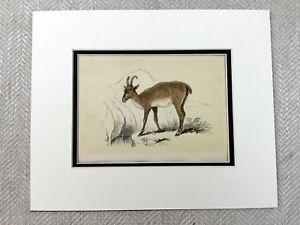 1853 Antique Print Chamois Alpine Goat Antelope Original Victorian Art