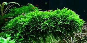 Christmas Moss Vesicularia Live Aquarium Plant Java Moss BUY 2 GET 1 FREE ✅