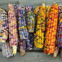 Regenbogen Mais Samen Lebensmittel essbares organisches seltenes Gemüse zac