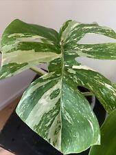 Bewurzelter Monstera deliciosa variegata Steckling