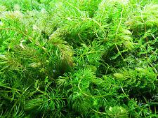Hornkraut ceratophyllum demersum Wasserpflanze Teichpflanze