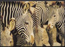 Animals Postcard - Wild Safari Animals - The Zebra   A8465