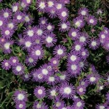 Ice Plant (Delosperma Floribunda Stardust)- 25 Seeds