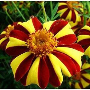 Seeds French Marigolds Tagetes Madjestic Flower Balcony Annual Garden Ukraine