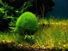 Marimo Moss Balls 0.5inch (1,3cm) Cladophora Live Plant Aquarium in USA.