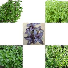 Basil Seed -UK stock Choose seeds:-Sweet,Thai,Holy,Red, Lemon,>Italian,Thai food
