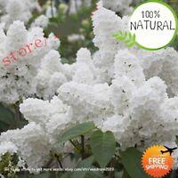 White Japanese Lilac Seeds Plants Bonsai (extremely Fragrant) Clove 100pcs