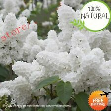 White Japanese Lilac Seeds Plants Bonsai (extremely Fragrant) Clove 100pcs