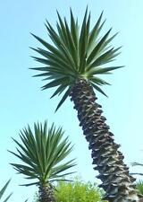YUCCA ALOIFOLIA, rare Spanish Bayonet  agave garden Dagger Plant seed - 15 SEEDS