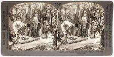 Keystone Stereoview Stripping Hemp Tress, PHILIPPINES from 1910's Education Set