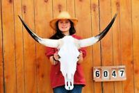 "STEER SKULL LONG HORNS MOUNTED 3' 2"" COW BULL TAXIDERMY LONGHORN H6047"