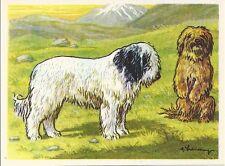 1952 Dog Art Print Austria Tobacco Bildwerk Company LHASA APSO & TIBETAN TERRIER