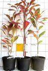 Franklinia alatamaha - Franklinbaum, Franklinie, Rarität / sehr seltenes Gehölz