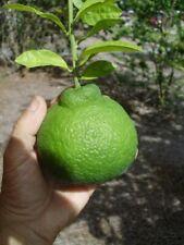 10 SANBOKAN GRAPE FRUIT SEEDS - citrus sulcata