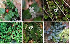 Green Evergreen Vine*Mitchella Repens*GREAT Privacy Vine Major Wheeler 25 Seeds