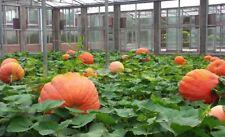 Giant Pumpkin Seeds Vegetable Bonsai Fruit Seeds Giant Pumpkin Seeds Pumpkin