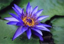 Nymphaea caerulea Blue Water Lily 10 seeds
