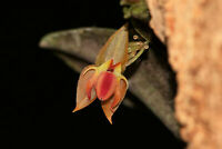 LEPANTHES ORTEGAE MINIATURE ORCHID POTTED