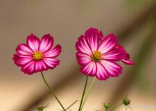20PC Cosmos Bipinnatus Flowers Seeds Calliopsis Seed Cosmos Garden Flower