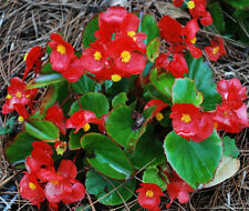 Wax Begonia Seeds, Red Begonias, Heirloom Flower Seeds, Non-Gmo Annual, 75ct