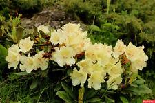 Rhododendron caucasicum 50 seeds