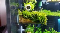 Java moss on bamboo tube with suction cup on the end for shrimp and crayfish