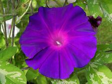 The Purple at Dawn / Akatsuki no Murasaki Ipomoea Nil Morning Glory 6 Seeds