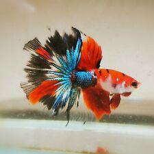 Live Betta Fish - Male - Fancy Multicolor Halfmoon (HFJUN158) (High-Grade)