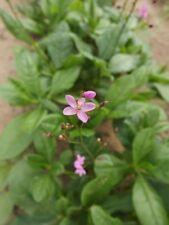 Earth Ginseng - Talinum paniculatum - Jewels of Opar - 20+ seeds