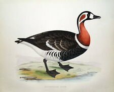 RED BREASTED GOOSE, Beverley Morris original antique bird print 1855