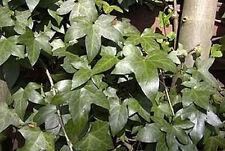 Véritable Lierre 20 Graines -Hedera Hélice- ''Plante grimpante/