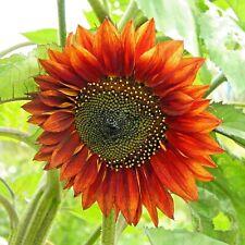 SUNFLOWER MIX RARE LEMON GOLD RED 30 SEEDS HEDGE SCREEN POLLINATORS FLOWERS USA