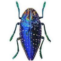 ONE REAL POLYBOTHRIS SUMPTUOSA GEMMA BLUE JEWEL BEETLE PACKAGED MADAGASCAR
