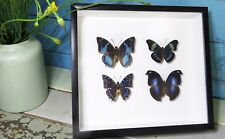 Butterfly collection for sale Australia blue butterflies BGBB4