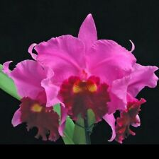 Partial Shade Plant Plug/Seedling Orchids