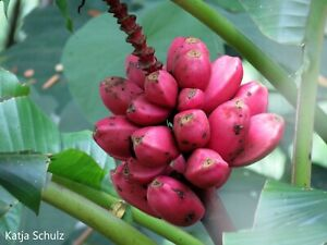 Musa Velutina - Hairy Banana - Lady Pink Banana - 20 Seeds