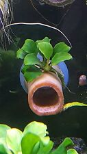Anubias nana petite on bamboo tube with suction cup on the end for shrimp