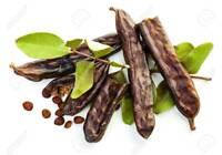 + 300 FRESH Carob / Ceratonia siliqua / St John's-bread seeds + gift free ship