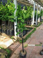 Pianta di limes Albero lime