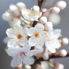 1 x Cherry Plum Tree Sapling Seedling 30-50cm Garden Tree (Prunus cerasifera)