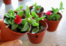 'Red Apple' Baby Sun Rose - Aptenia Ice Plant - Trailing Succulent Houseplant