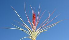 long slender leaf concolor tillandsia 12 inch size airplant. air plant hawaii