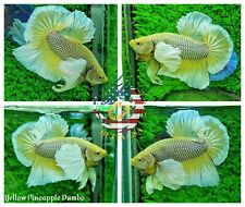 Live Male Betta Fish High Quality HMPK Yellow Pineapple Dumbo Big Ears