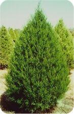 Eastern Red Cedar Tree, Juniperus virginiana, 100 Tree Seeds Fresh Oct 2017!