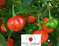 Chilli Bellingrath Gardens Rare Variety Sustainably Grown in Australia 10 Seeds