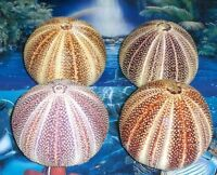 "4 to 4-1/2"" ENGLISH CHANNEL SEA URCHIN SEA SHELL BEACH DECOR NAUTICAL TROPICAL"