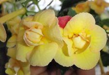 Achimenes 'Hot Spot' Three Rhizomes Gesneriads