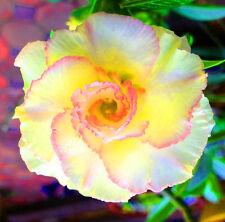 "NEW! ADENIUM OBESUM DESERT ROSE ""loungsamchun"" 100 Seeds"