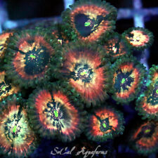 New listing Wysiwyg Live Coral: Og Hawaiian Ding Dang; Paly Zoa Palys Zoas Zoanthid Polyps