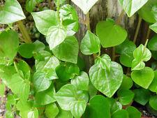 Peperomia Pellucida 400+ Seeds Organic Herb Shiny Bush Antioxidant Heirloom